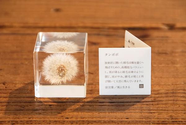 たんぽぽのsola cubeの画像