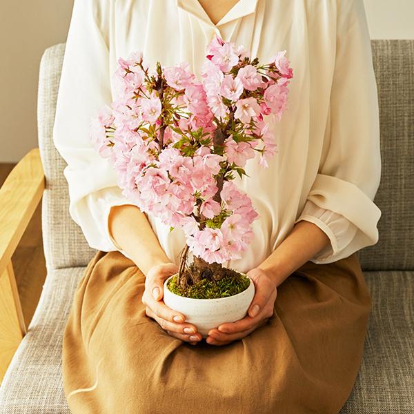 桜の盆栽を両手で持っている画像
