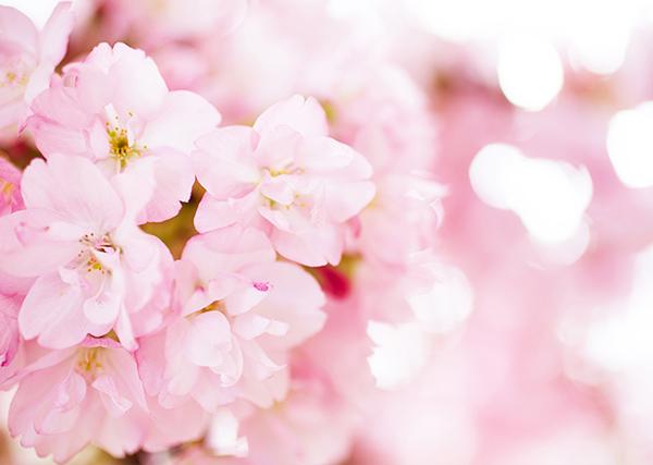 桜の拡大画像